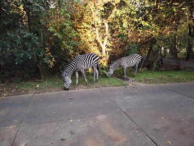 Zebras Royal Livingstone Hotel, Zambia
