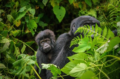 Baby Mountain Gorilla being carried through the jungle on its mother's back.