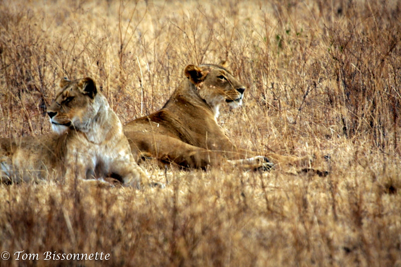 Lioness and juvenile.