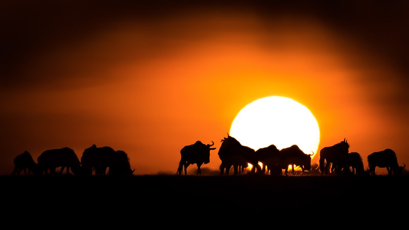 Wildebeest at Sunset