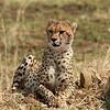 Cheetah sits prodly!