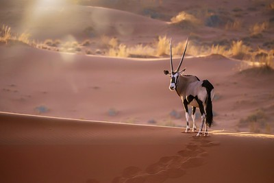 Oryx in the sand dunes.