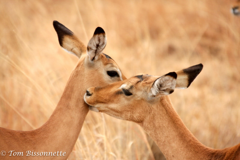 Young Thompson's Gazells nuzzling each other, Tarangire National Park, Tanzania, East Africa.