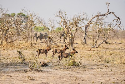 African Wild Dogs standing alert, as two elephants walk cautiously in the background.