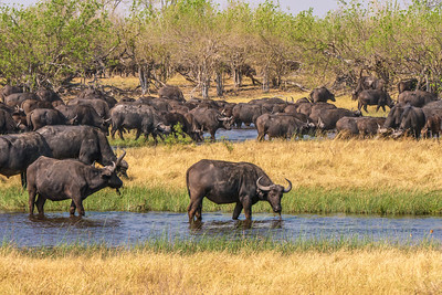 A herd of Cape buffalo drinking during the dry season.