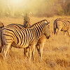 Zebras on a golden morning.