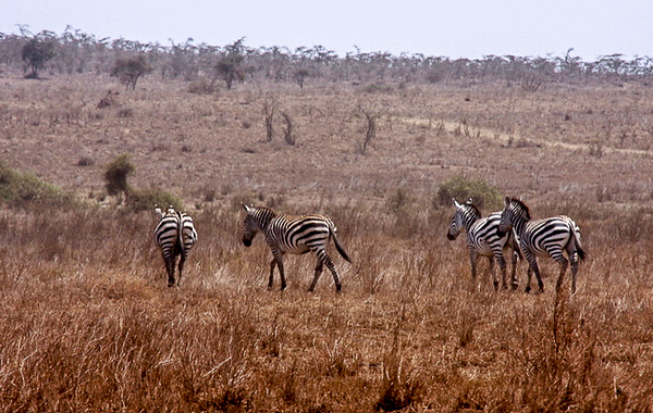Zebras roam the Serenghetti plains.