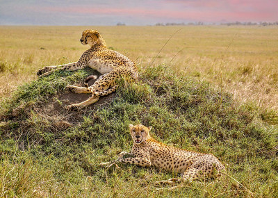 Two cheetah brothers relaxing on a grassy mound during the day