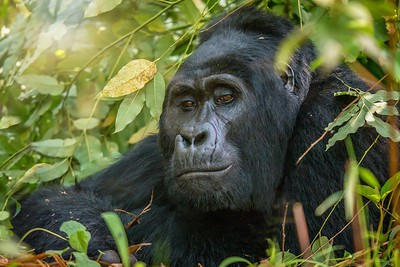 Portrait of a silverback mountain gorilla.