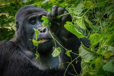 Silverback Mountain Gorilla Chewing Leaves