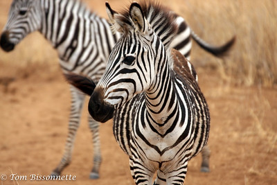 Zebra close-up.