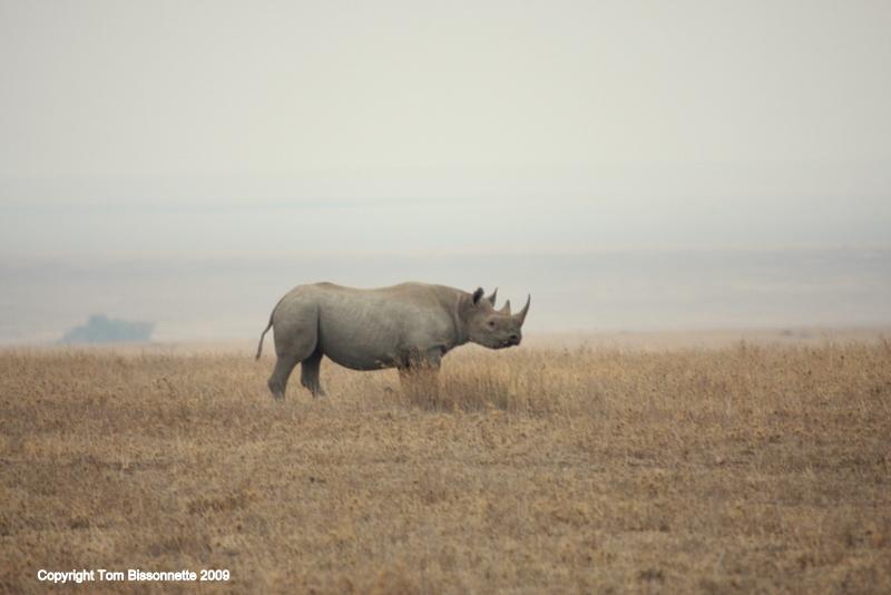 Black rhinoceras, Serengeti National Park, Tanzania, East Africa.