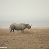 Black rhinoceras, Serengeti National Park, Tanzania, East Africa.