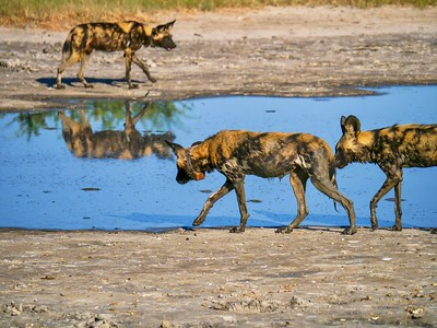 African Wild Dogs wearing tracking collars to monitor their behavior and migration in the wild.