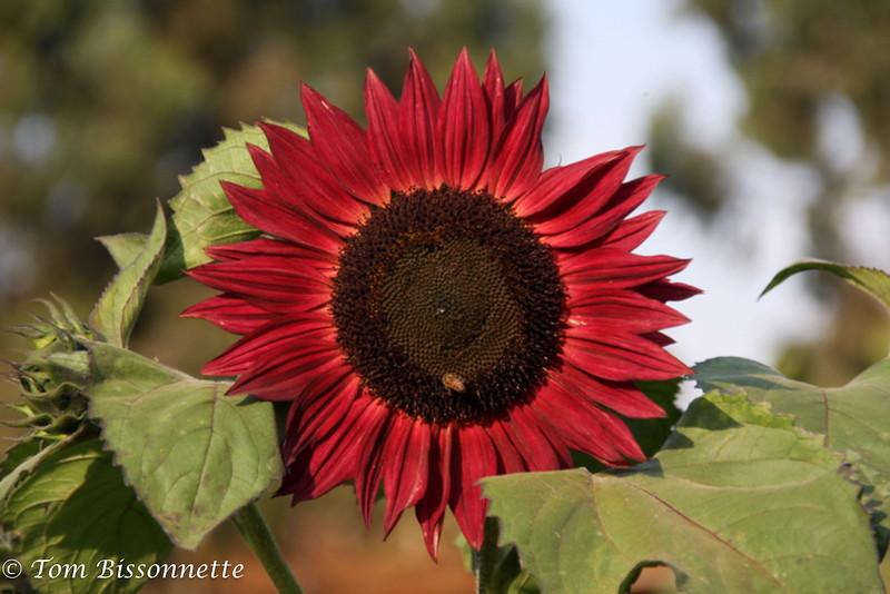 Red sunflower, Tloma Lodge, Karatu, Tanzania, East Africa.