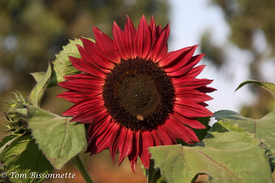 Red sunflower, Tloma Lodge, Karatu, Tanzania, East Africa.
