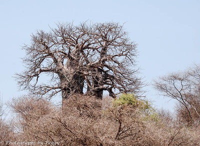Baobab Tree looses its leaves during the dry season