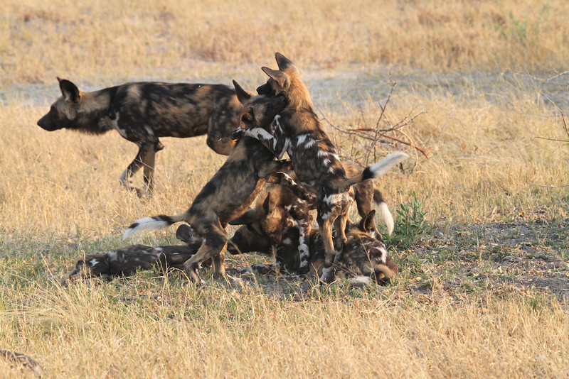 African Wild Dogs in Botswana, pups playing whilst being overseen by a babysitter