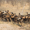 African Wild Dogs killing a warthog which had taken shelter in an aardvark hole.