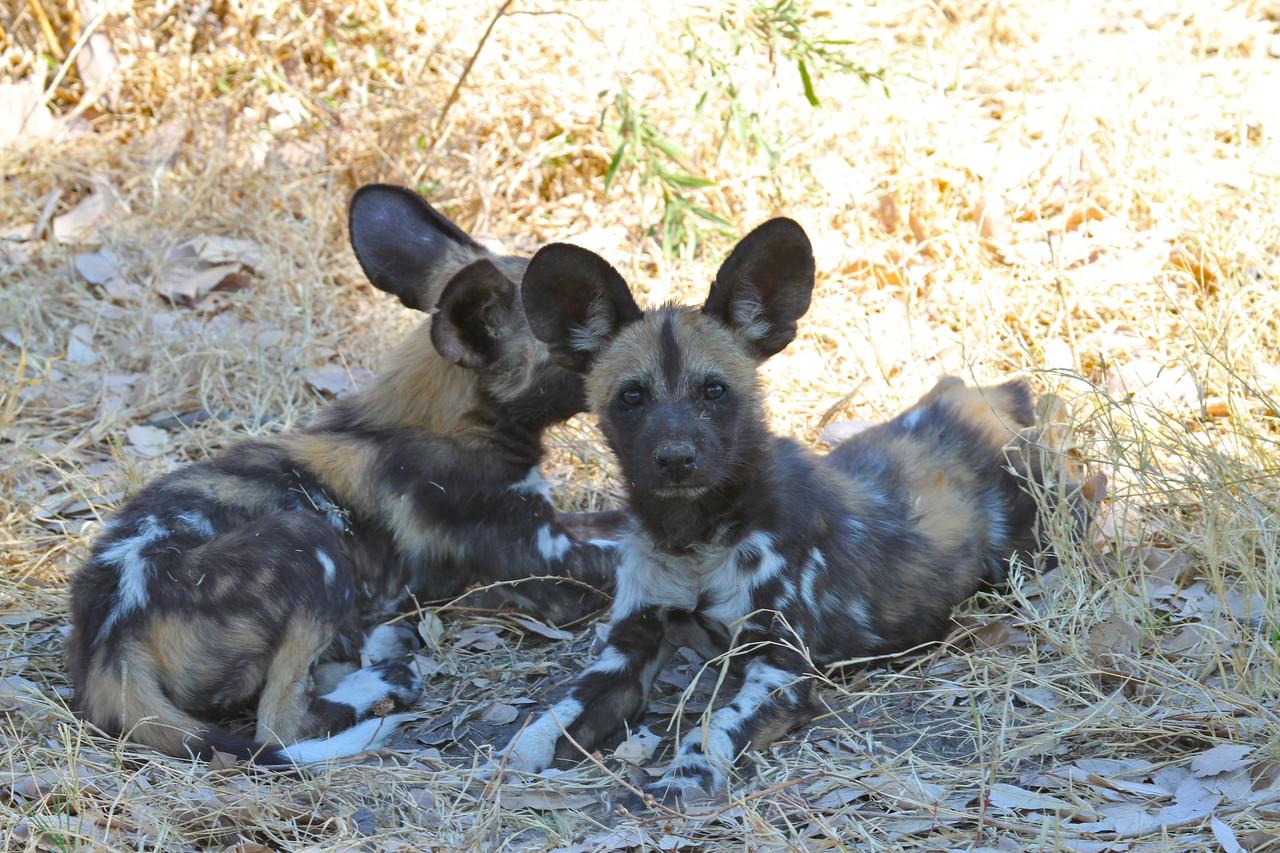 African Wild Dogs in Botswana