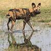 African Wild Dog in Botswana, cooling off in a lagoon
