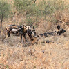 African Wild Dogs in Botswana, greeting is very important in the family groups