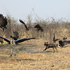 African Wild Dog chasing vultures and Marabou Storks away from its kill in Botswana