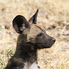 African Wild Dogs in Botswana