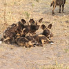 African Wild Dog pups in Botswana