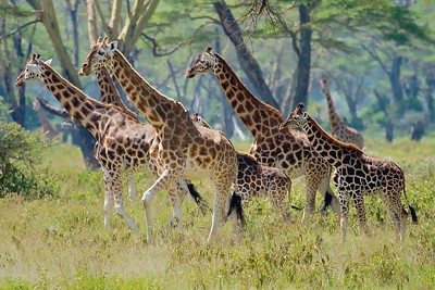 A Rothschild Giraffe (note the White Leggings) family at Lake Nakuru National Park_Kenya
