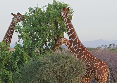 Larsen's Camp, Samburu National Park, Kenua, home of the Reticulated Giraffe