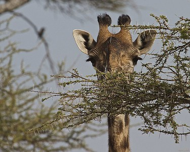 In Tanzania_Ndutu_Africa, Girafee in the Serengeti National Park