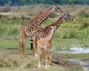 A family of Giraffes in the Maasai Mara National Reserve, Kenya