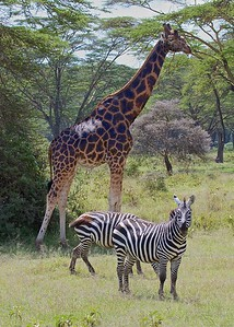 In the Lake Nakuru National Park_Kenya, Zebra and Rothschild Giraffes