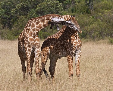 Teenage Male Giraffes Sparring in the Masai Mara Triangle, Kenya