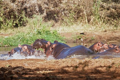At Lake Manyara National Park in Tanzania, Male Hippos fight over females