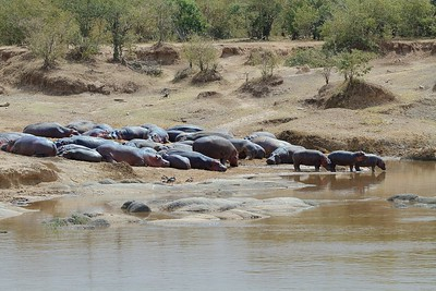 Hippo Pod near the Mara River in Kenya