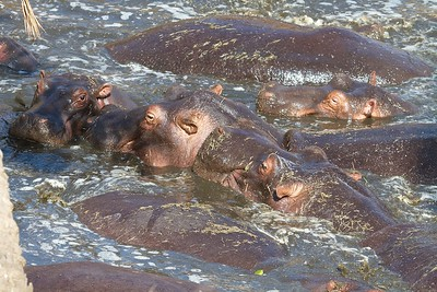 A pod of Hippos.  Mating, challenge, fighting Two days in the Serengeti National Park, Tanzania--an uninhabited area larger than the state of Connecticut