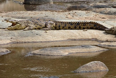 Crocodiles wait for a Wildebeest Crossing at the Mara River in Kenya