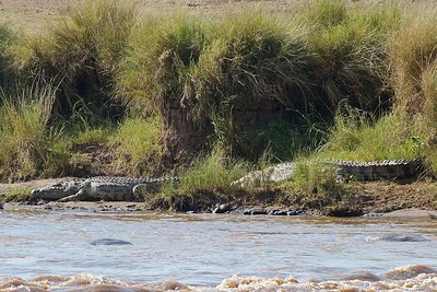 African Crocodiles Await the Next Wildebeest Crossing of the Mara River Masai_Mara_Triangle_Kenya_African Animals