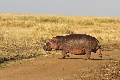 In the Maasai Mara National Reserve, Kenya, Hippo hurries across the road