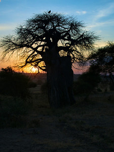 Baobob Trees at Sunset in Tangire National Park, Tanzania