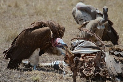Maasai Mara National Reserve, Kenya, Nubian or Lappet-Faced Vultures on a Zebra Kill
