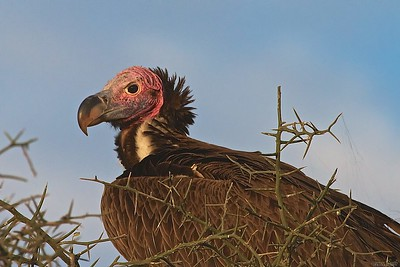 At Ndutu, Tanzania.  A Nubian or Lapid-Faced Vulture