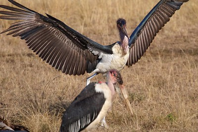 Maasai Mara National Reserve, Kenya. Vultures and Maribou Storks fon a Zebra Kill
