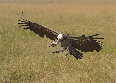 In the Masai_Mara_Triangle_Kenya_Repells-Griffon Vulture