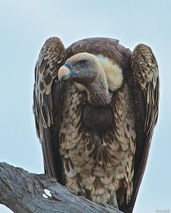 Repells-Griffon Vulture in Tanzania