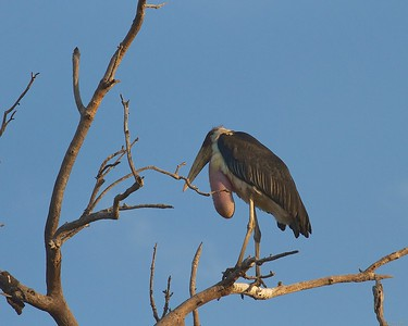 A Male Marabou Stork with Inflated Gular Sac in breeding season in the Tarangire National Park, Tanzania