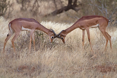 A Gerenuk Antelope Unique to this corner of Kenya at Larsen's Camp, Samburu, Kenya