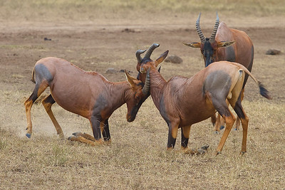 In Maasai Mara National Reserve, Kenya, Topi's Sparring